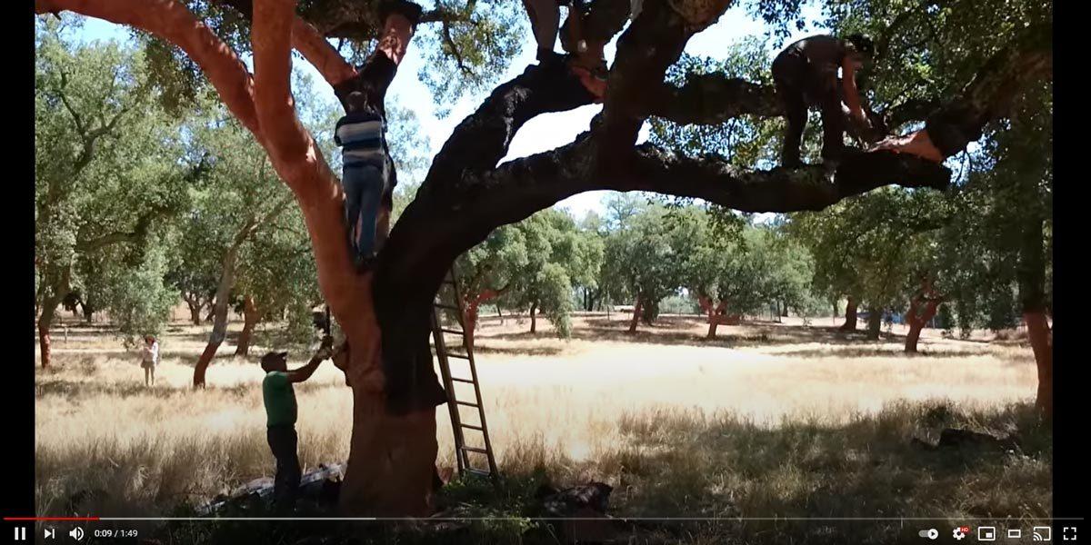VIdeo-della-decortica-delle-querce-da-sughero-in-Portogallo
