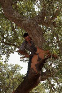 Decortica della quercia da sughero