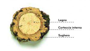 La struttura della quercia da sughero