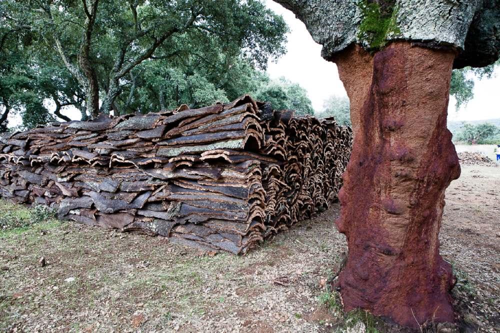 Le querce vengono potate ogni 9 anni per permettere la ricrescita della corteccia